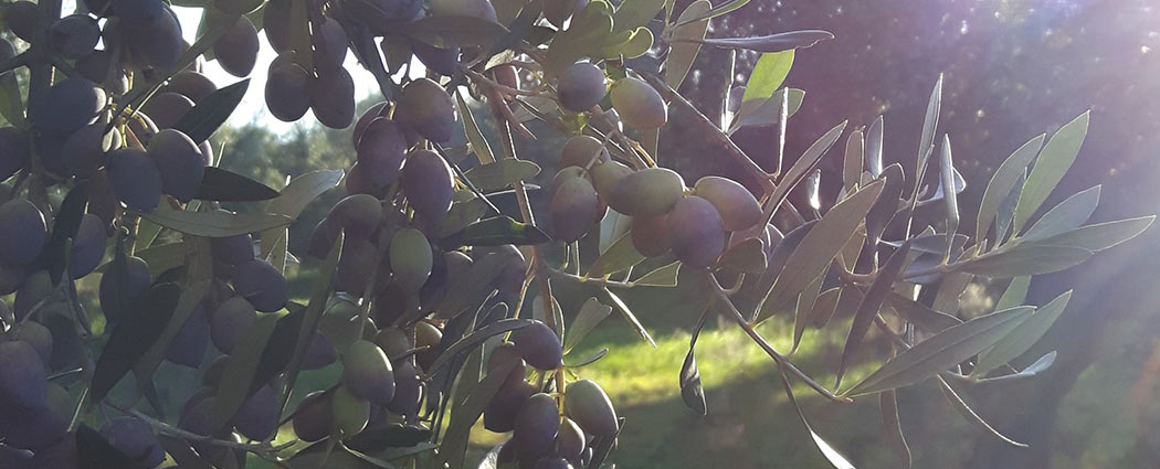 koroneiki-olive59006f54d70e4