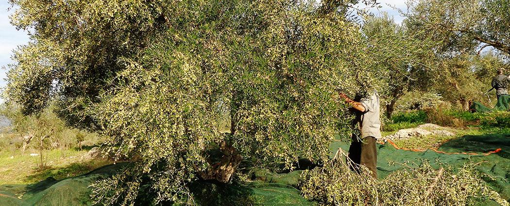 die-olivenernte
